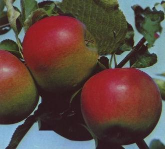 Apfel-Jonagold