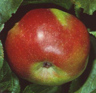 Apfel-Ontario