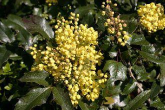 Mahonie, Mahonia aquifolium