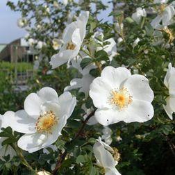 Blüten der Bibernellrose / Dünenrose (rosa pimpinellifolia)