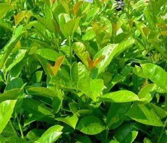 """Kirschlorbeer """"Etna"""", Prunus laurocerasus """"Etna"""""""