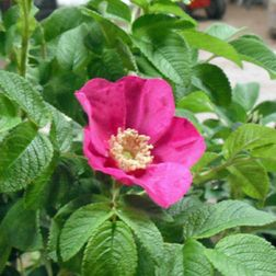 Rosa Rugosa, Apfelrose, Kartoffelrose, Hagebutte