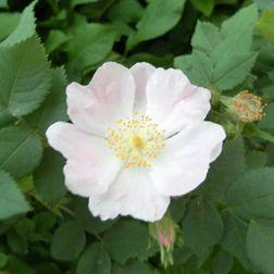 Blüte der hundsrose Rosa Canina