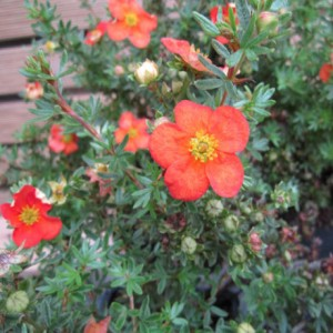 "Fingerstrauch ""Red Ace"", Potentilla fruticosa ""Red Ace"""