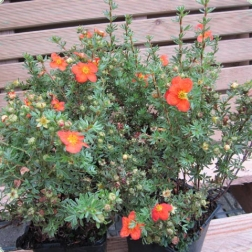 1552_1_fingerstrauch-red-ace-potentilla-fruticosa-red-ace