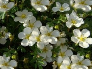 "Fingerstrauch ""Tilford Cream"" (Potentilla ""Tilford Cream"")"