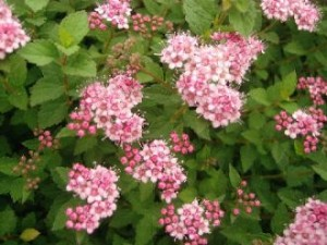 "Blühende Zwergspiere ""Little Princess"", spiraea japonica ""little princess"""