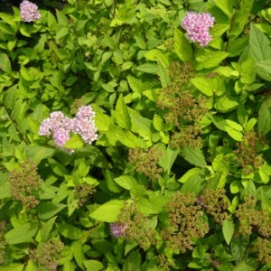 spiraea_japonica_anthony_waterer-rote_sommerspiere_anthony_waterer