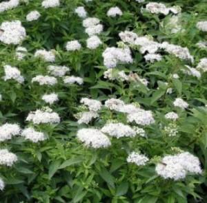 spiraea_japonica_albiflora-weisse_zwergspiere_albiflora