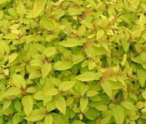 "Sommerspiere ""Golden Princess"", spiraea_japonica_golden_princess"