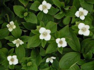 Blühender Teppich-Hartriegel (cornus canadensis)
