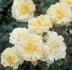 "Bodendeckerrose ""Sunny Rose"", Rosa ""Sunny Rose"""