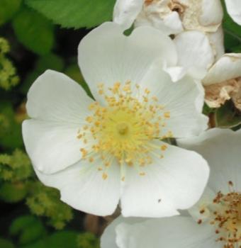 Die Kriech- & Feldrose (Rosa arvensis)