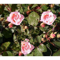 """Blüte der Bodendeckerrose """"Rosa Zwerg"""""""