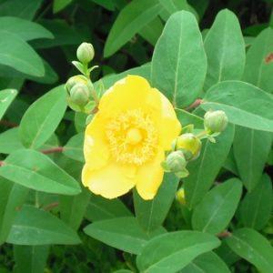 Blüte des niedrigen Johanniskraut (Hypericum calycinum)