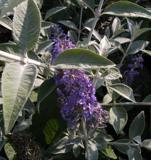 1691_0_buddleja_davidii_lochinch-sommerflieder__schmetterlingsflieder_lochinch