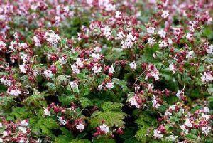 "Balkan-Storchschnabel ""Spessart"" (Geranium macrorrhizum ""Spessart"")"