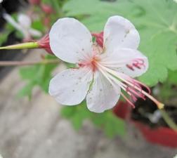 1767_1_balkan-storchschnabel-spessart-geranium-macrorrhizum-spessart