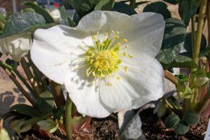 Blühende Christrose (Helleborus niger), Schneerose, Weihnachtsrose