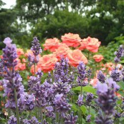 1772_1_lavandula_angustifolia_hidcote_blue-lavendel_hidcote_blue