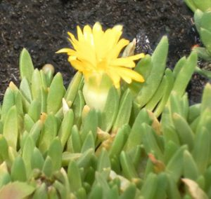 Delosperma Rubigenum, Lesotho-Stauden Mittagsblume