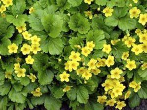"""Blüte der """"Golderdbeere"""""""