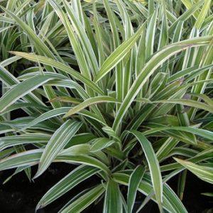 weißrandige Segge 'Variegata' (Carex morrowii 'Variegata')