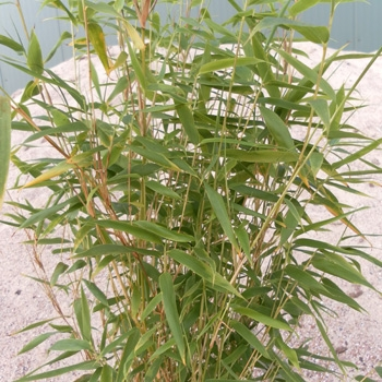 Bambus sorten
