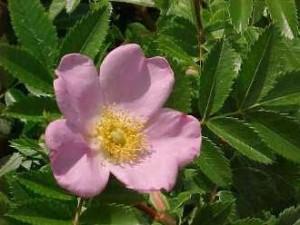 Blüte der Wiesenrose (Rosa carolina), Sandrose