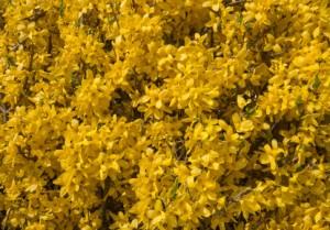 """Die prächtigen Blüten der Forsythie """"Goldrausch"""""""