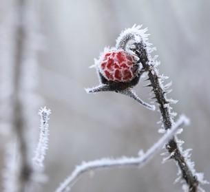 Hagebutte der Kartoffel-/Apfel-Rose im Winter