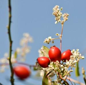 Hagebutten der Weinrose