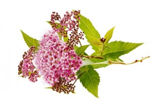 Spierenzweig mit Blüte
