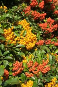 Beeren des Feuerdorns, Feuerdorn, Pyracantha, September, Herbst