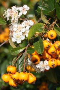 Früchte, Blüten und Blätter des Feuerdorns (Pyracantha coccinea)