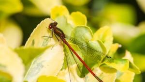 Insekt auf Goldliguster