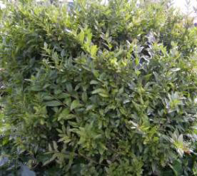"Zwergliguster ""Lodense"" (Ligustrum vulgare ""Lodense"")"