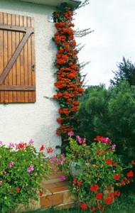 Fruchtender Feuerdorn als Klettergehölz geschult, verdeckt das Fallrohr der Dachrinne an einem Landhaus