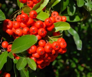 "Beeren des Feuerdorn ""Red Column, Pyracantha ""Red column"""